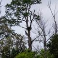 Osprey nest at Homosassa Springs Wildlife State Park.- Homosassa Springs Wildlife State Park