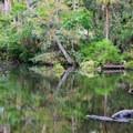 Alligators in the river at Homosassa Springs Wildlife State Park.- Homosassa Springs Wildlife State Park