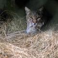 Bobcat at Homosassa Springs Wildlife State Park.- Homosassa Springs Wildlife State Park