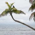 Sea bird resting on a palm tree.- Gladden Spit + Silk Caye Marine Reserve