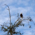 Another eagle sighting at Otis Park.- Otis Perkins Day Park