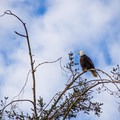 There is a good chance to view bald eagles in the region. - Otis Perkins Day Park