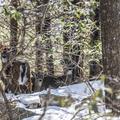 Some white-tail deer peeking through the woods.- Skytop Tower Trail