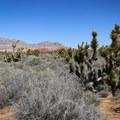 Joshua trees along the Oak Creek Canyon Trail.- Oak Creek Canyon Trail