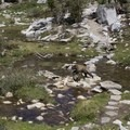 Lots of bears as you near Morgan Pass.- Little Lakes Valley