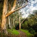 Eucalyptus groves along the Jewel Lake Loop.- Jewel Lake Loop