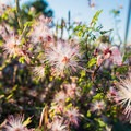 Fairy duster.- Riparian Preserve at Water Ranch