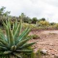 Agave cactus.- Flatiron Mountain via Siphon Draw