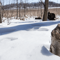 Signs of beavers.- Thompson Pond Nature Preserve