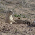 Prairie dogs are abundant in Rocky Mountain Arsenal National Wildlife Refuge.- Rocky Mountain Arsenal National Wildlife Refuge
