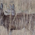 Mule deer in Rocky Mountain Arsenal National Wildlife Refuge.- Rocky Mountain Arsenal National Wildlife Refuge