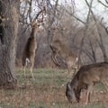 Two white-tailed deer challenge each other.- Rocky Mountain Arsenal National Wildlife Refuge