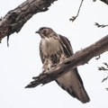 A hawk perched in a tree in Rocky Mountain Arsenal National Wildlife Refuge.- Rocky Mountain Arsenal National Wildlife Refuge