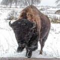 Many bison are home to Rocky Mountain Arsenal National Wildlife Refuge.- Rocky Mountain Arsenal National Wildlife Refuge