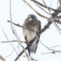 A hawk in Rocky Mountain Arsenal National Wildlife Refuge.- Rocky Mountain Arsenal National Wildlife Refuge