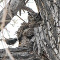 An unidentified bird interrupts the sleep of a great horned owl.- Rocky Mountain Arsenal National Wildlife Refuge