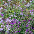 Wishbone bush and an unidentified species during a super bloom in Walker Canyon Ecological Reserve.- Walker Canyon Ecological Reserve