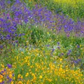 A super bloom at Walker Canyon Ecological Reserve.- Walker Canyon Ecological Reserve