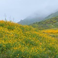 California poppies during a super bloom in Walker Canyon Ecological Reserve.- Walker Canyon Ecological Reserve