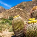 Beautiful barrel cacti blooming at the entrance to Palm Canyon, Anza-Borrego Desert State Park.- Borrego Palm Canyon