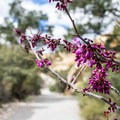 Western redbud (Cercis occidentalis).- Calico Tanks Hike