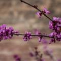 Western redbud (Cercis occidentalis).- Kraft Mountain Loop Hike