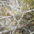 Unidentified berries (help us identify it by providing feedback).- Rings Loop Trail
