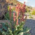 Desert Rhubarb in bloom.- Rings Loop Trail