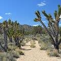 Cima Dome has the world's largest concentration of Joshua trees.- Teutonia Peak Trail