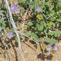 On of several species visible during a super bloom in Mojave National Preserve.- Teutonia Peak Trail