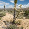 Cholla cactus and yucca.- Teutonia Peak Trail