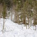 Ascending through aspen and pines. - Mount Royal