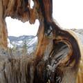Gnarly tree at the summit. - Mount Royal