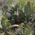 Desert cactus flora.- Tom's Thumb