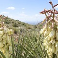 Flowering yucca along the hike to Tom's Thumb.- Tom's Thumb