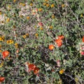 Emory's globemallow along the hike to Tom's Thumb.- Tom's Thumb