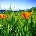 California poppies in Tilden Regional Park.- Seaview Trail to Inspiration Point