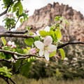 Apple blossoms from the old homestead orchard.- Pine Creek Canyon Hike