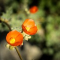 Desert Mallow (Sphaeralcea ambigua).- Burro Creek Campground