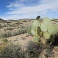 Beavertail cactus is just one of several species of cactus in the Mojave.- Rock Springs Loop