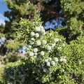 Clusters of berries grow on the California juniper.- Rock Springs Loop