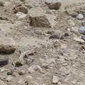 Lizards of many varieties call Owl Canyon home.- Owl Canyon hike