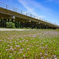 Wildflowers out in bloom in the spring.- Sacramento Northern Bikeway