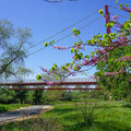 Cherry blossom trees in full effect during the spring.- Sacramento Northern Bikeway