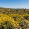 Brittlebush (Encelia farinosa) in bloom.- Scenic Trail
