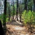 Walden Woods.- Walden Pond + Adams Woods