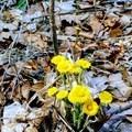 Coltsfoot (Tussilago farfara).- Walden Pond + Adams Woods