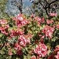 Manzanita blooms.- Santa Ana River Trail to Angeles Oaks