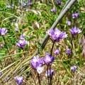 Wildflowers.- Santa Ana River Trail to Angeles Oaks