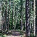 Hike through Douglas fir trees on both sides.- Mount Grant Preserve